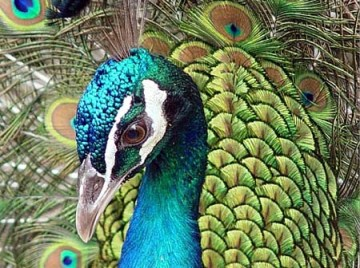 The blue is said to be similar to the kingfisher's feathers. Which is also similar to Peacock feather colours.